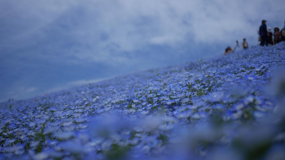 今年のネモフィラは、例年以上に花の咲きが良かったそうです。