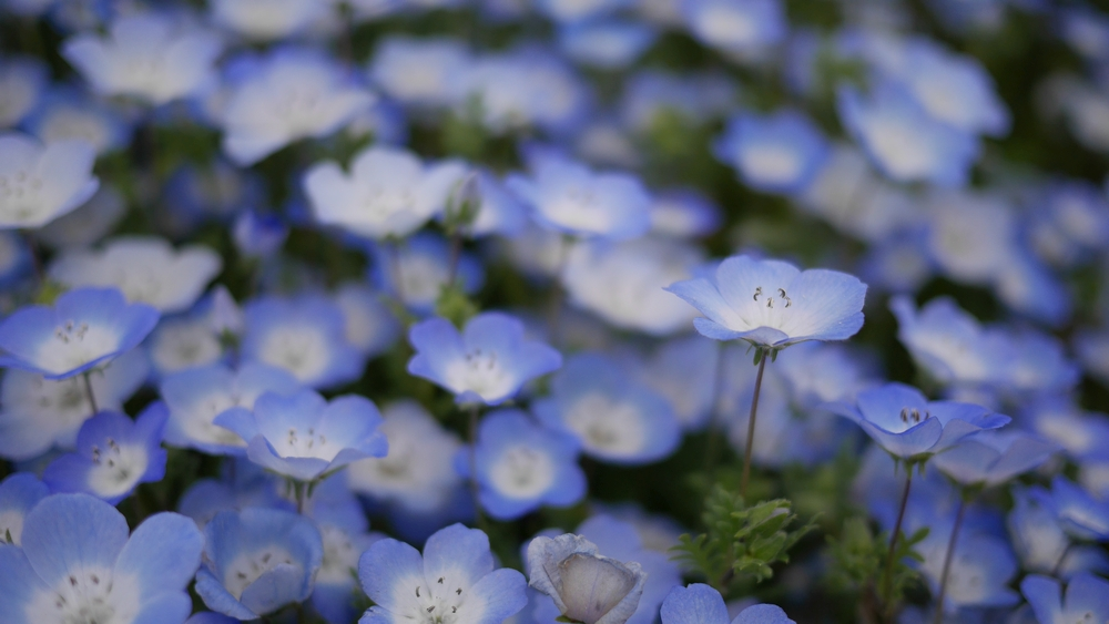 可憐な青い花ですが...