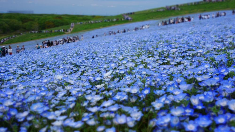丘という地形上、ネモフィラの青と空のコントラストが引き立ちます。