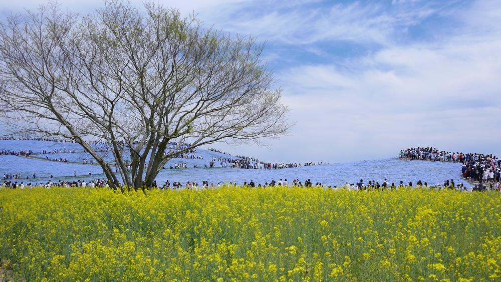 ひたち海浜公園の定番的な構図です。