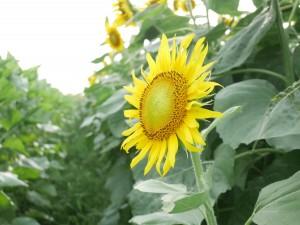 時期をずらして植えられたひまわりのお陰で、比較的長くひまわりを楽しめます。