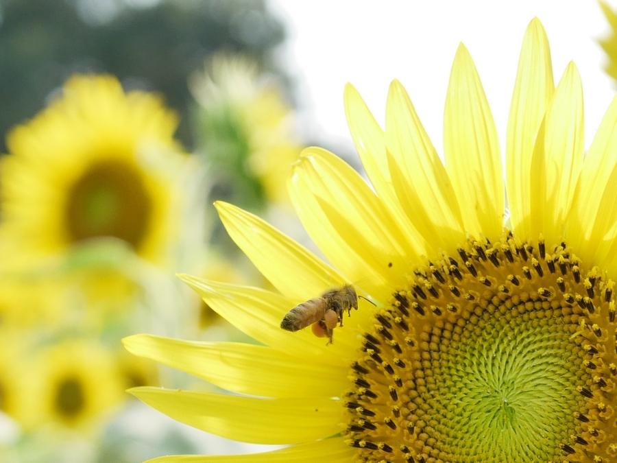 足に大きな花粉団子を抱えたミツバチ。