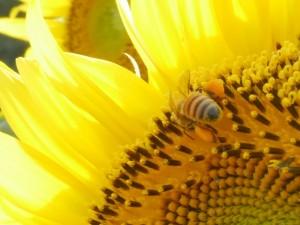 こうやって、頭から花弁に突っ込む時に、カラダに花粉が付着するんですね。