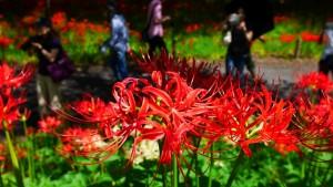 巾着田はこの季節、多くの観光客でにぎわいます。