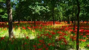 花弁の紅と茎の緑が印象的な曼珠沙華は、光のコントラストがよく映えます。