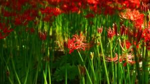 茎と花弁だけ、これが曼珠沙華の特徴のひとつです。