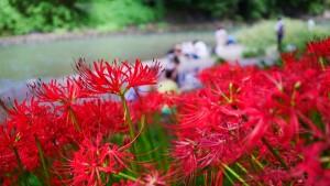 巾着田を囲む高麗川は、水遊びもできます。
