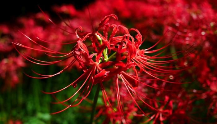 曼珠沙華(まんじゅしゃげ)。神々しいまでの紅色が印象的です。