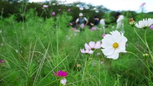 巾着田に咲くコスモス。