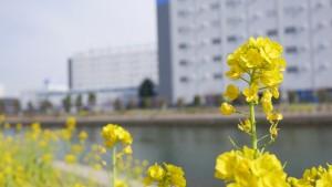 倉庫を背景に咲き誇る菜の花。ちょっと不思議な風景です。