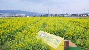 こちらは、千葉県鴨川市の「菜な畑ロード」。一面菜の花です。