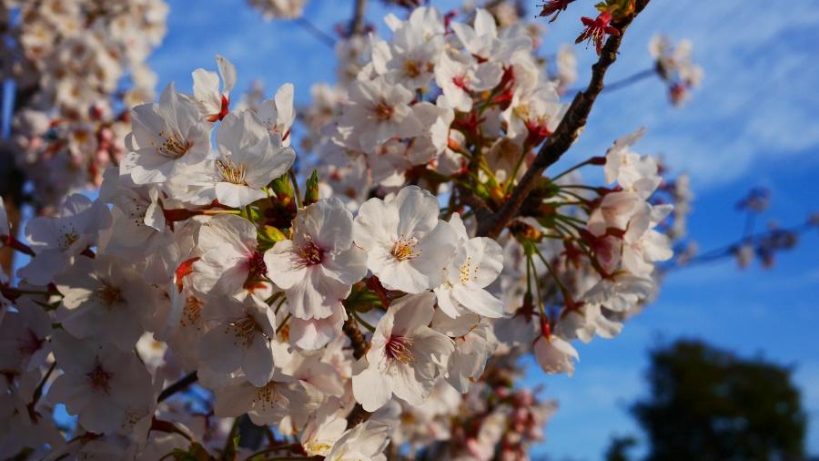 夕日に照らされる桜。埼玉県戸田市彩湖付近で撮影。