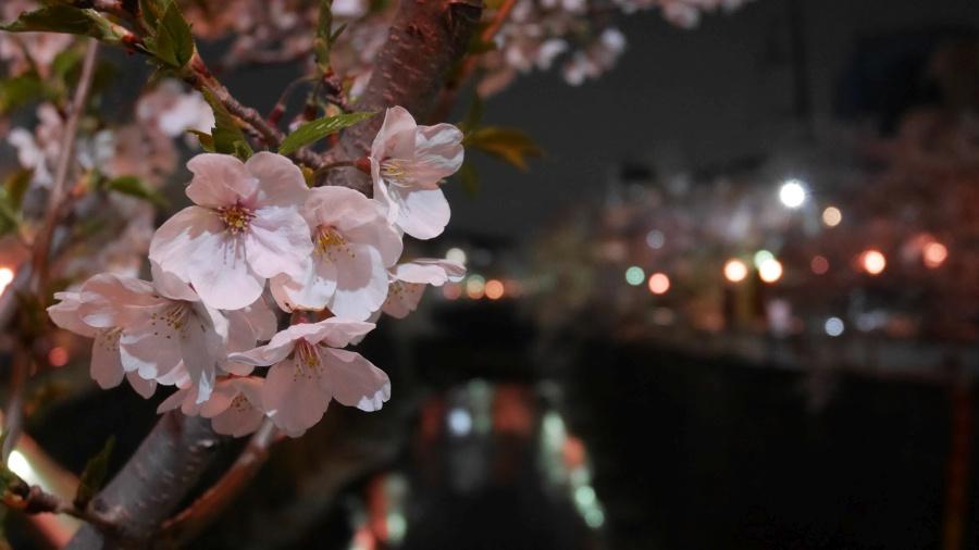 石神井川の夜桜。板橋区で撮影。